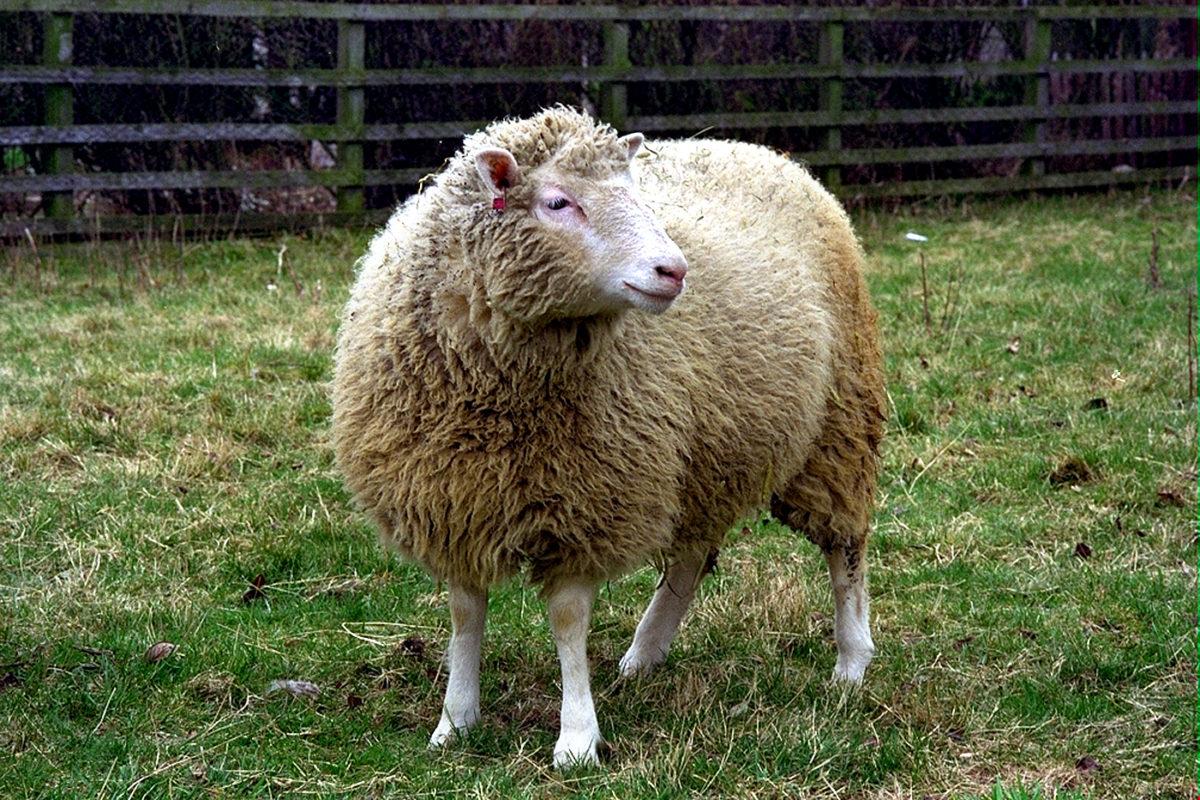 5 datos que no sabías sobre Dolly, la oveja clonada | ERIZOS