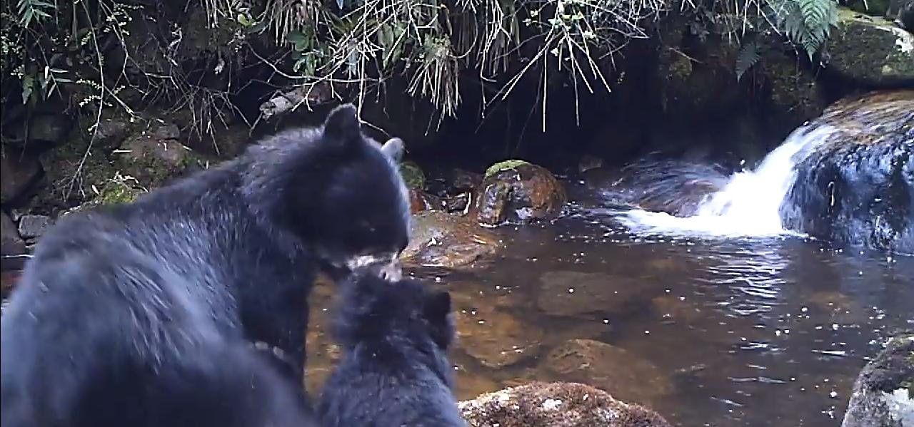 Mamá oso obligando a osezno a cruzar un río