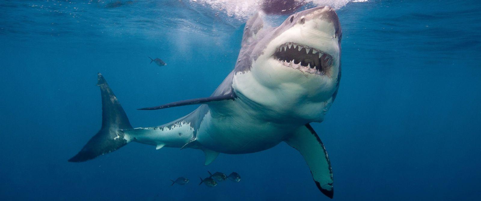 Tiburón Blanco tiburones