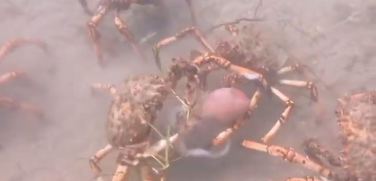 Cangrejos araña despedazando un pulpo