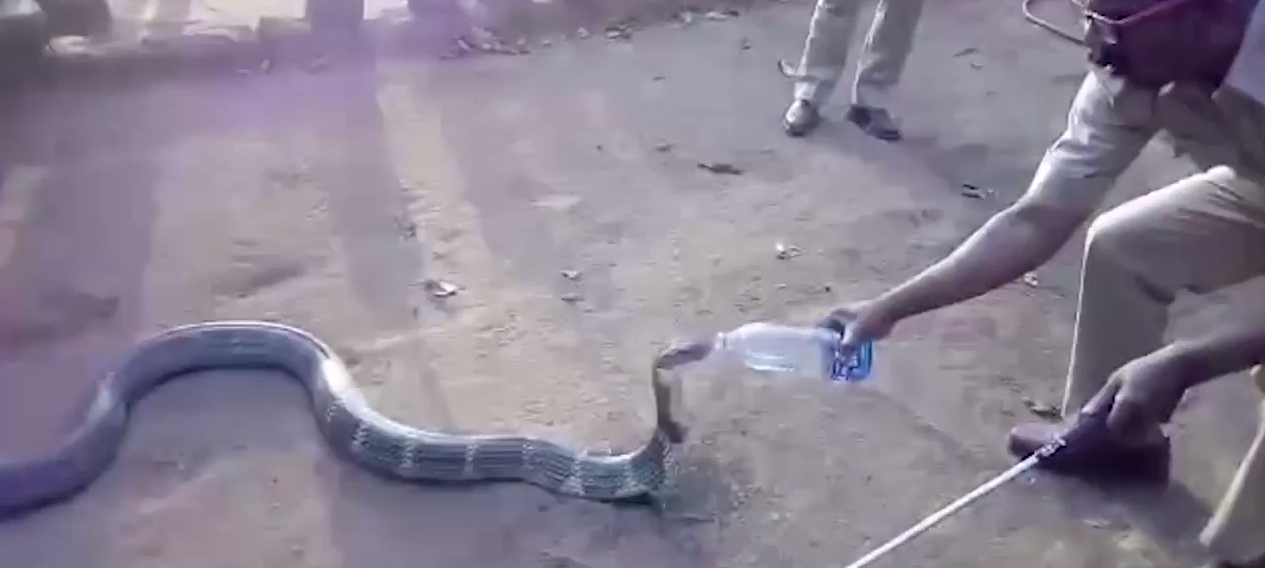 Cobra bebiendo botella agua sequía India