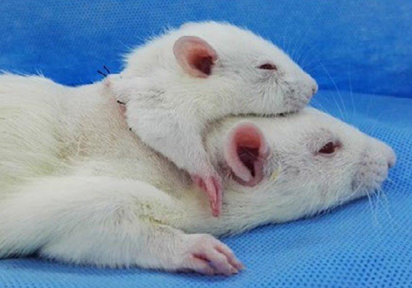 Científicos transplantaron la cabeza de una rata en el cuerpo de una más grande