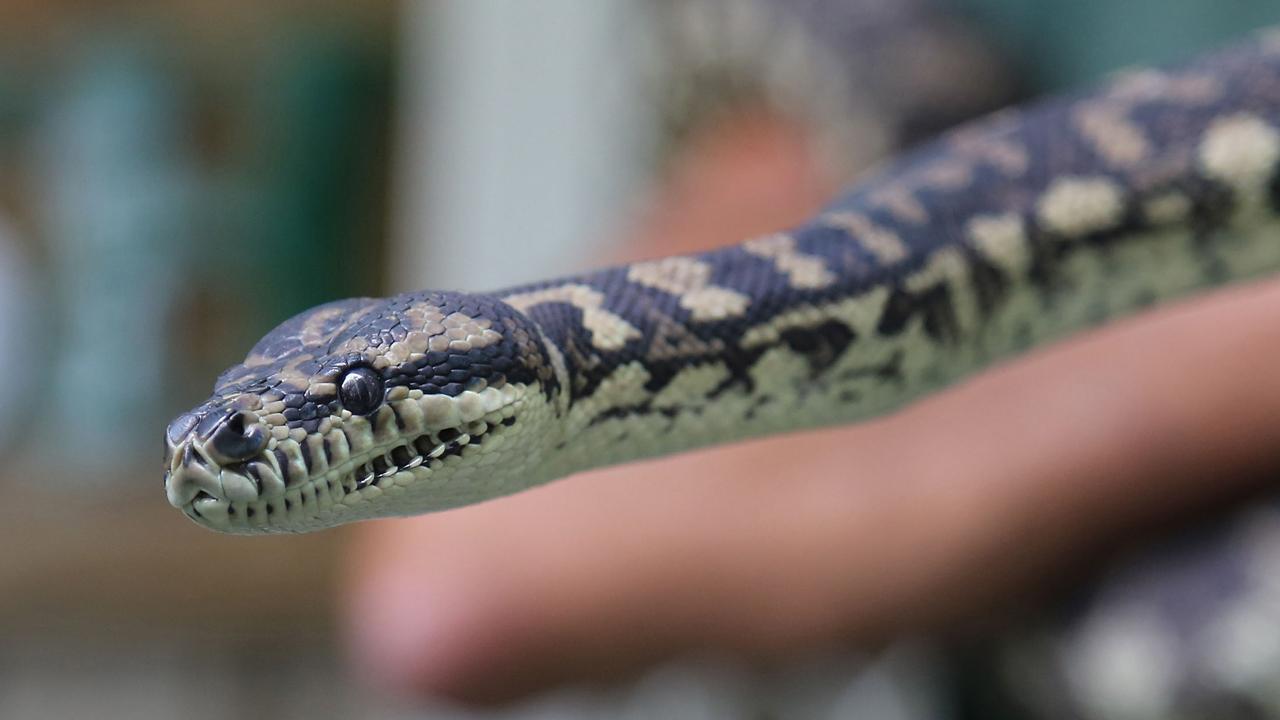Serpiente adicta a las metanfetaminas está en rehabilitación