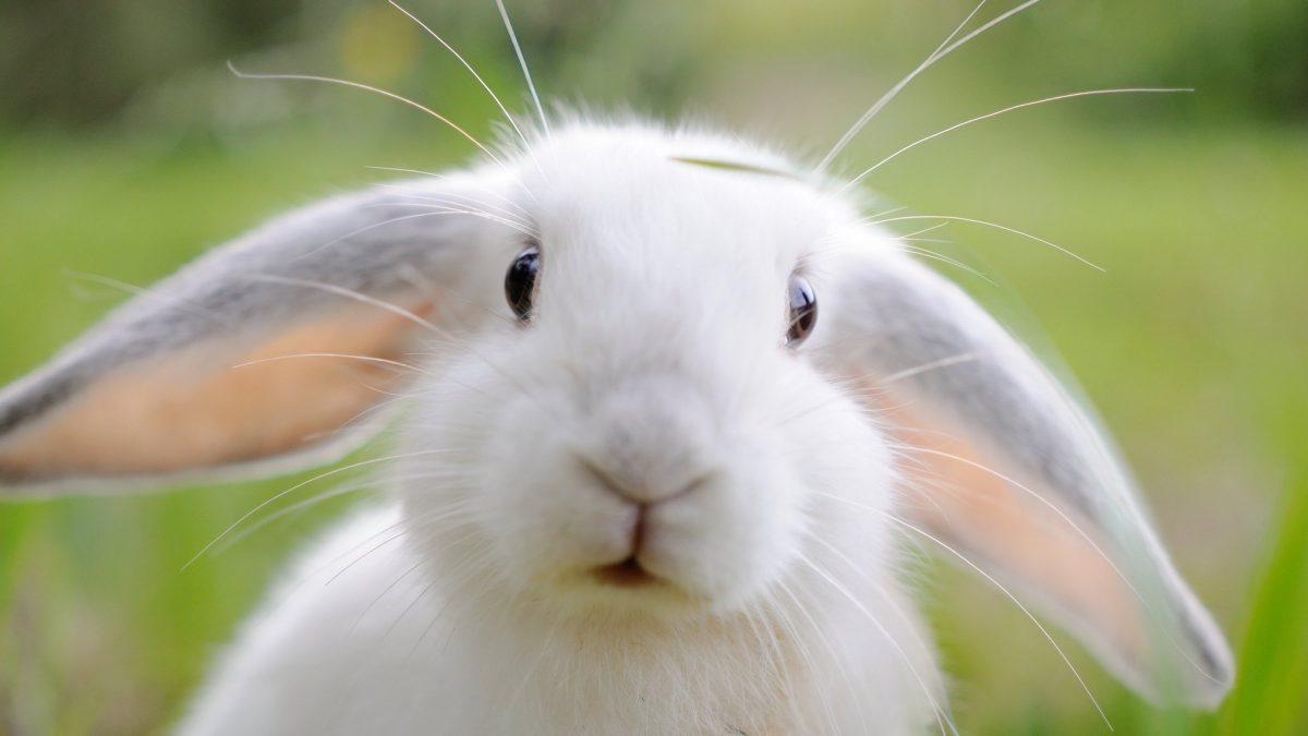 Desde hace más de 100 años Australia tiene una plaga de conejos