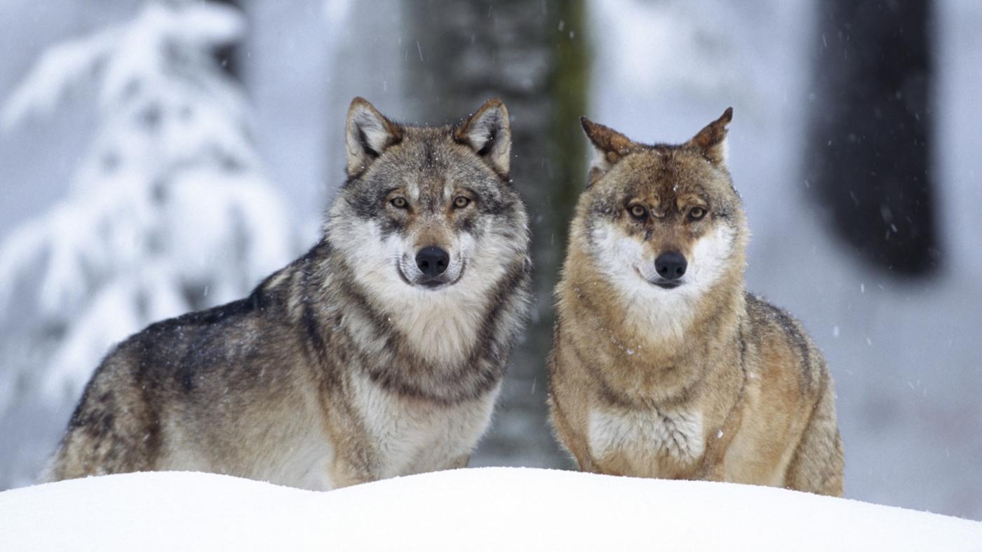 Dinamarca tiene una manda de lobos por primera vez en 200 años