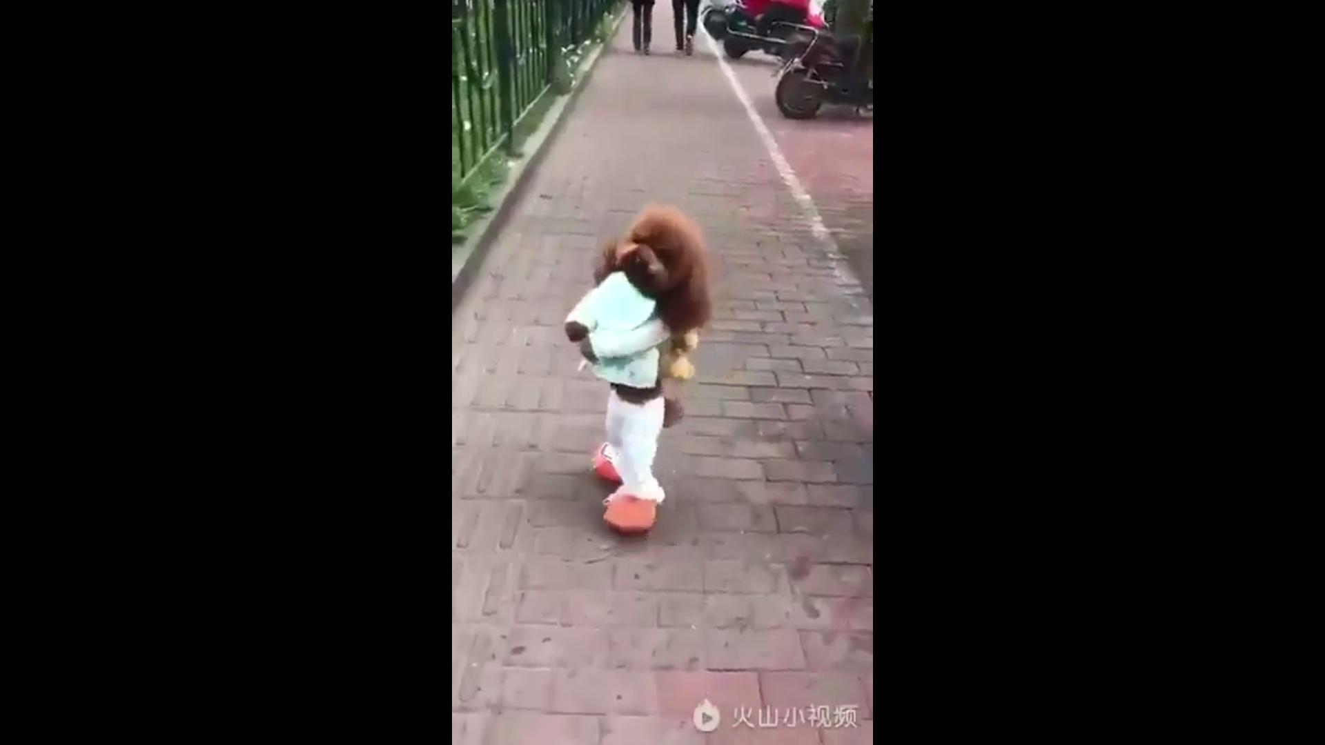 Dou Dou es un perro poodle que puede caminar en sus dos patas traseras