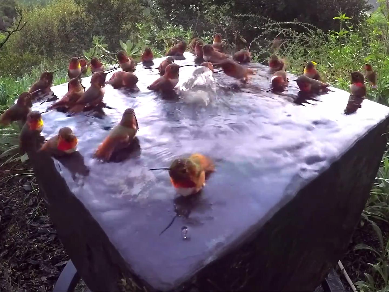 30 colibríes bañándose simultáneamente en una fuente