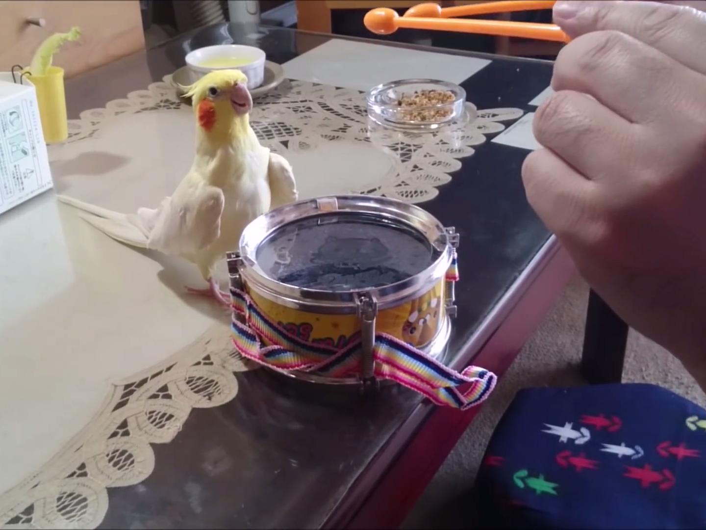Pájaro que le gusta tocar un mini tambor