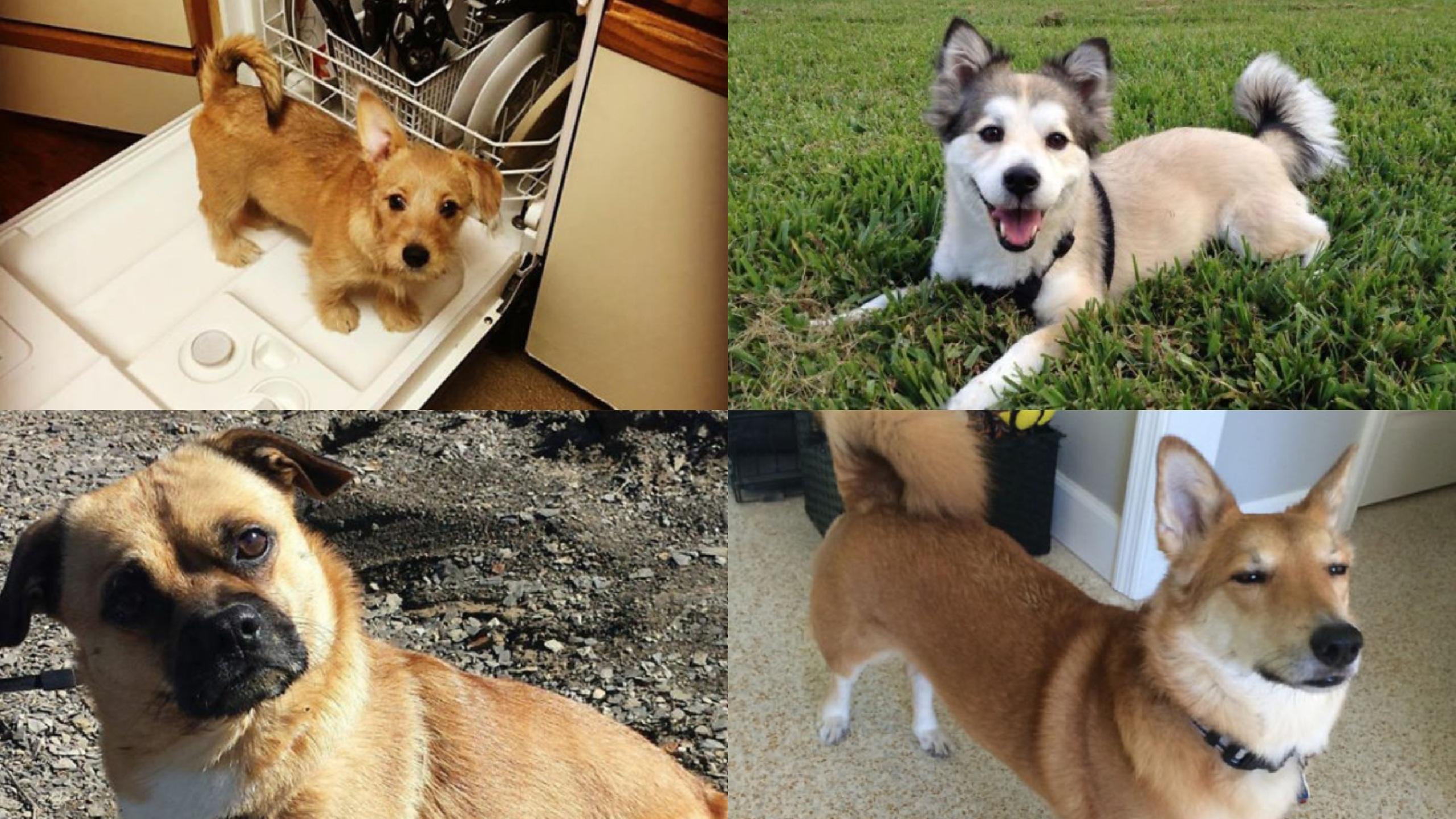 Corgi, Mezcla, Raza, Perros, Cachorro, Bebé, Husky, Bulldog