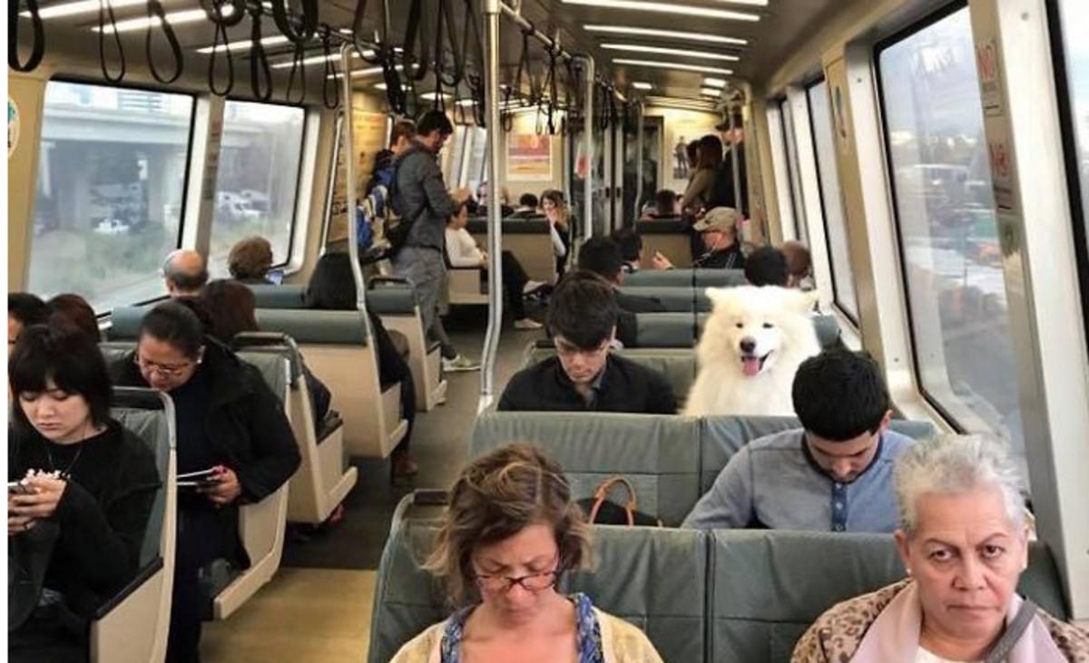 Samoyedo perros sonreír fotos Cachorros Latosos