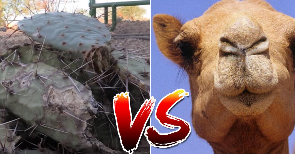 video-nopal-lleno-espinas-vs-camello-hambriento-enfrentamiento