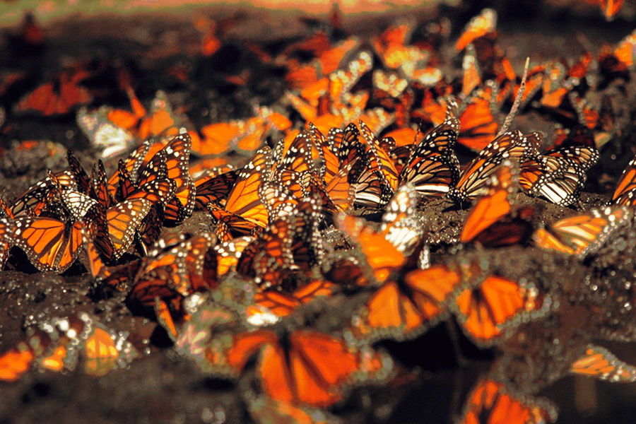 Talan árboles de mariposa monarca para sembrar aguacates