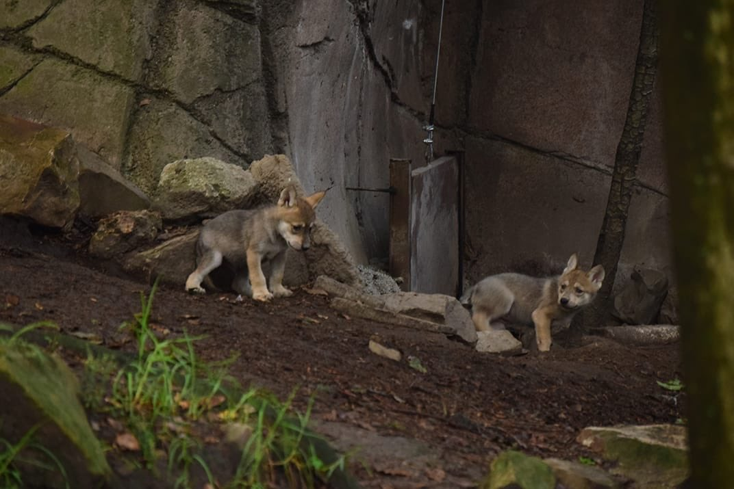 Nacen seis cachorros de lobo mexicano en el zoologico de Chapultepec