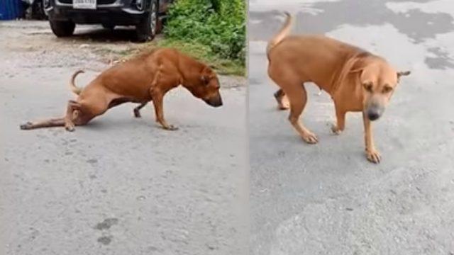 Perro Pata Rota Consigue Comida, Perro Pata Rota Comida, Perro Comida Pata Rota, Perro Finge No Poder Caminar, Perro Finge Estar Lastimado, Perro Finge Estar Atropellado