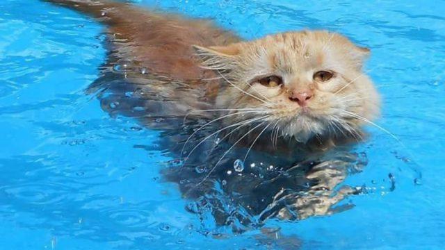Gato, Gato Que Nada, Tissy Gata Que Nada, Maine Coon, Gana Gato 1996, Gatos Maine Coon