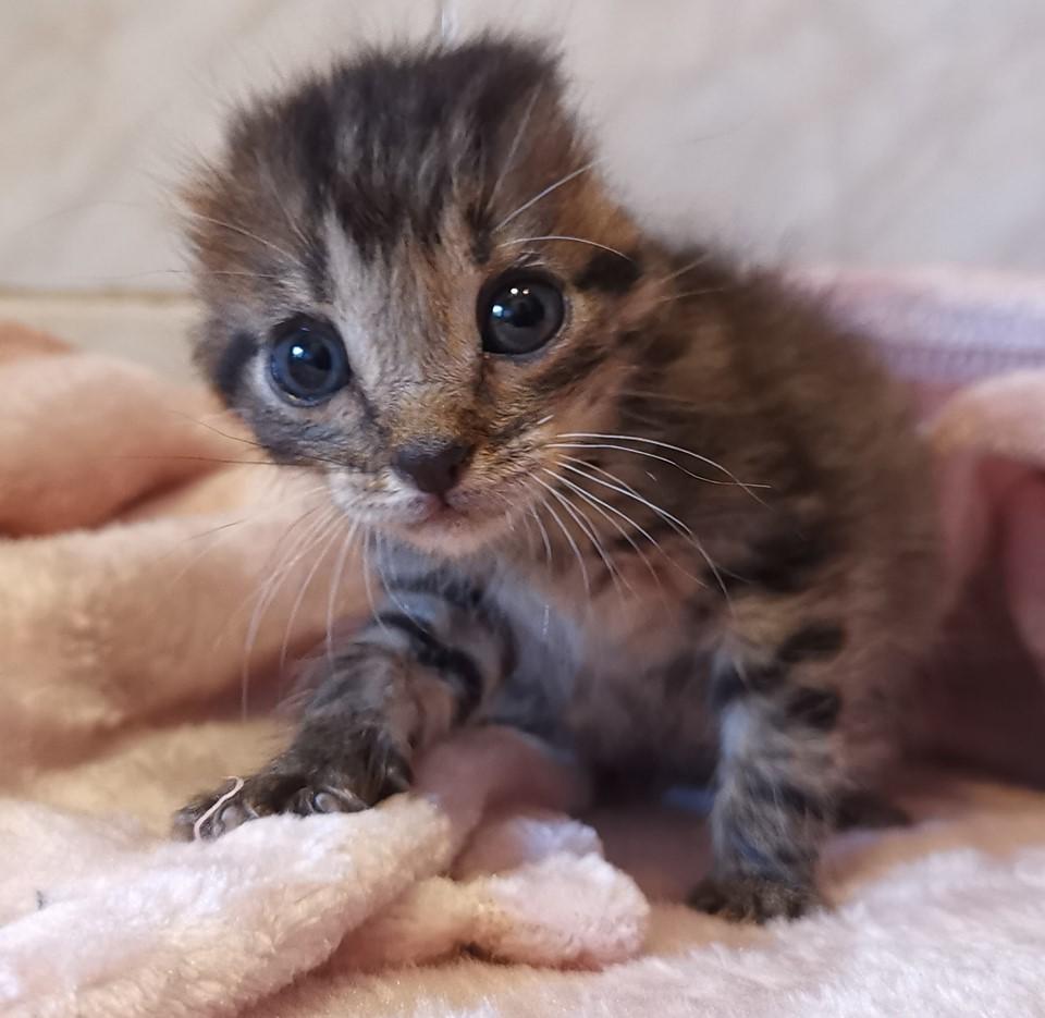 Gatito al que le cortaron las orejas busca un hogar
